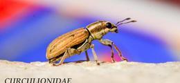 Les scarabées de Sainte Gemmes