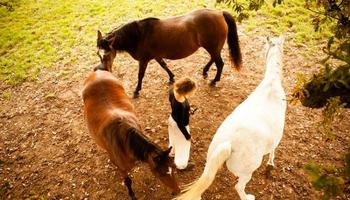 Les chevaux célestes