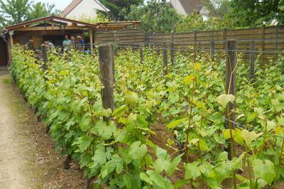 Découverte De La Vigne De Saint-martin Avec Dégustation De Ginglet 2019 à Pontoise
