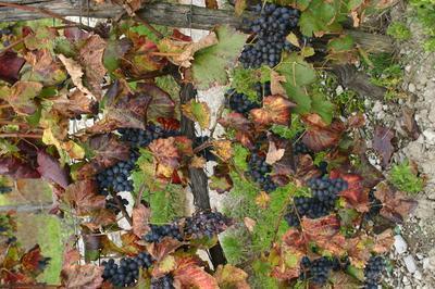 Histoire De La Vigne Et Du Vin En Grésivaudan à Saint Nazaire les Eymes