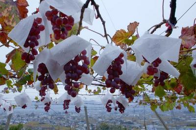 Koshu, le vin des pluies à Bordeaux