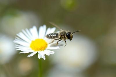 Oh apidés... En vol dans le monde des abeilles sauvages à Carquefou