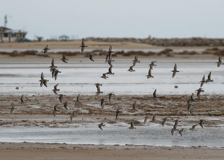Circuit À La Découverte Des Oiseaux De La Plage De La Vieille Nouvelle à Gruissan