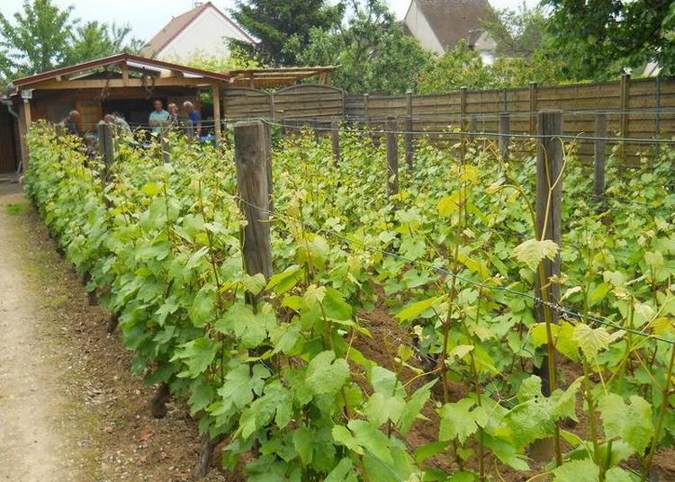 Découverte De La Vigne à Pontoise