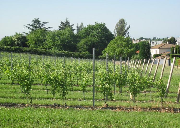 Découverte Vignoble à Sainte Foy les Lyon