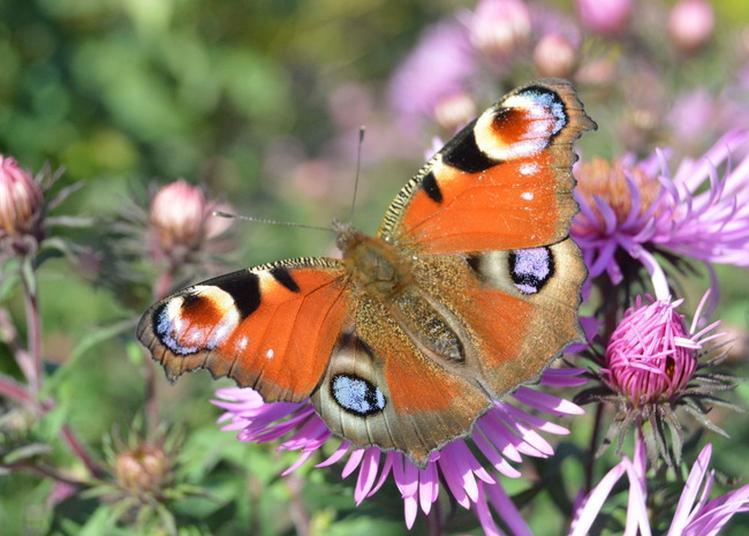 Fleurs, Papillons Et Petites Bêtes à Asnieres sur Vegre