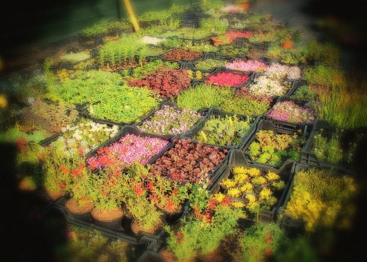 Les Plants D'automne De La Pépinière De L'arclusaz Présentés En Terrasse. à Saint Pierre d'Albigny