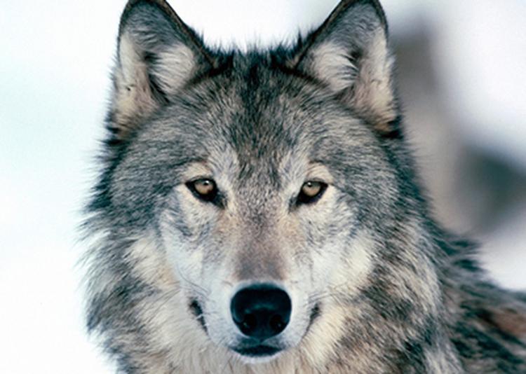 Qui A Peur Du Loup ? à Neuilly sur Seine