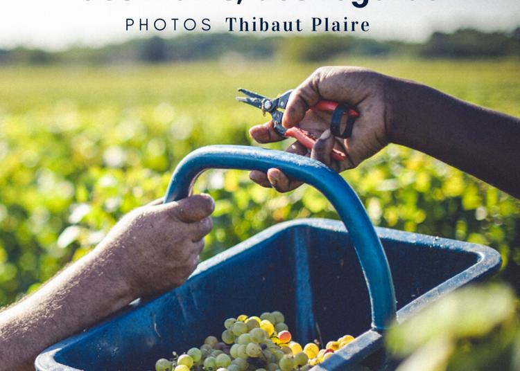 Scènes de Vendanges - photos de Thiabut Plaire à Illats