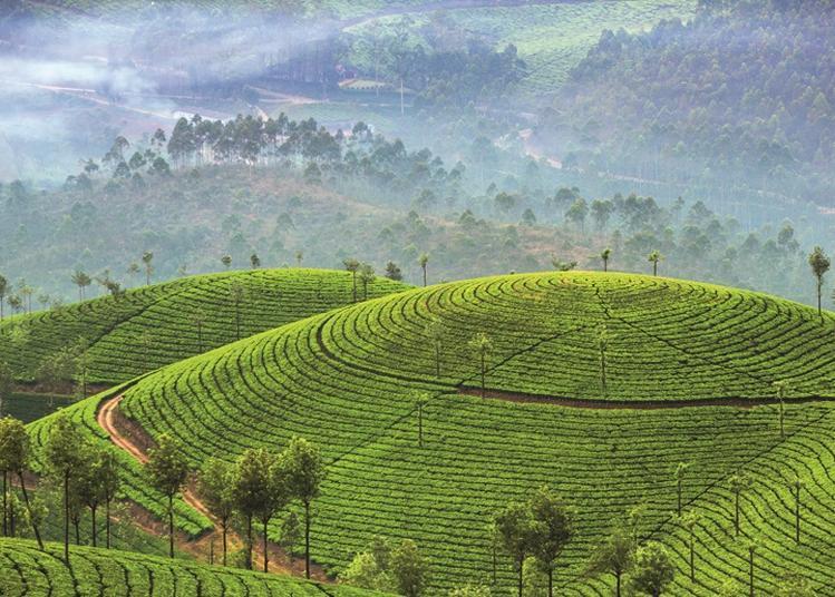 Sri lanka, la route des thés à Munster
