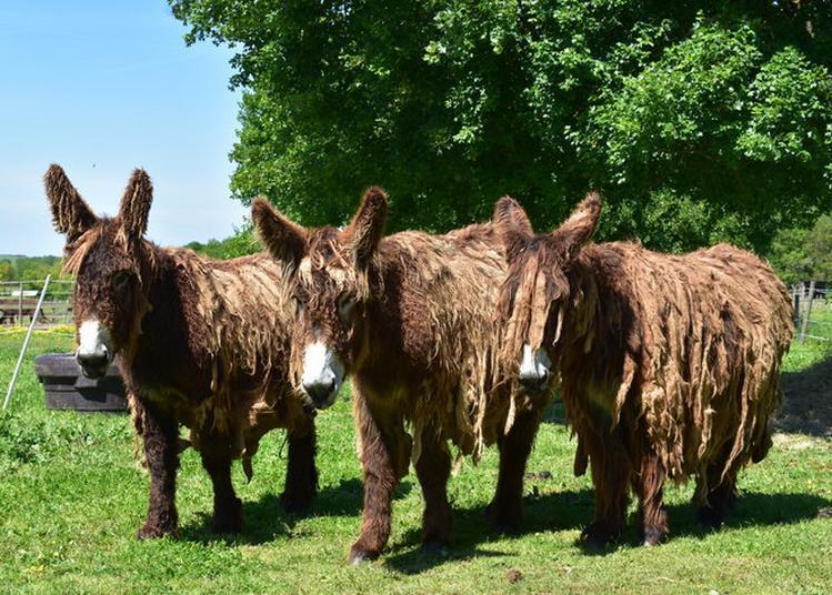 Un Week-end Au Contact Des Mules Poitevines Du Poitou à Dampierre sur Boutonne