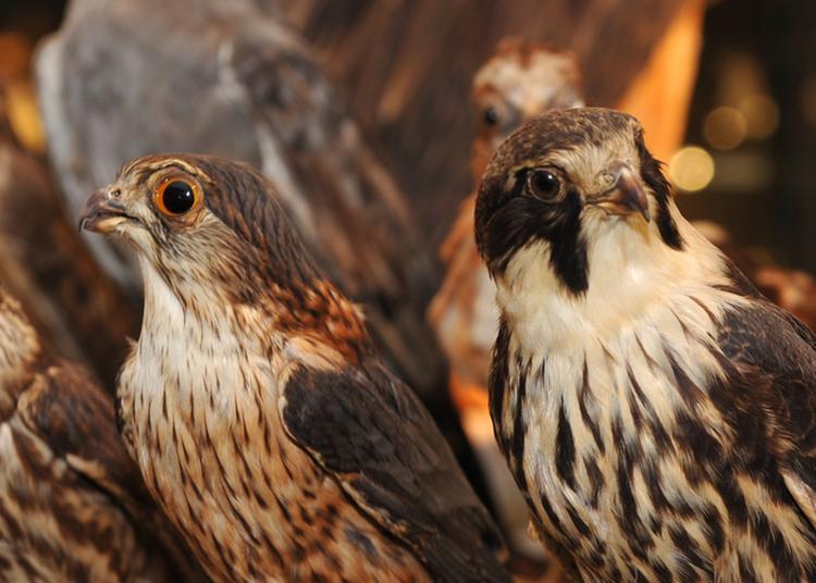 Venez Visiter Le Musée Ornithologique Charles Payraudeau à La Chaize le Vicomte