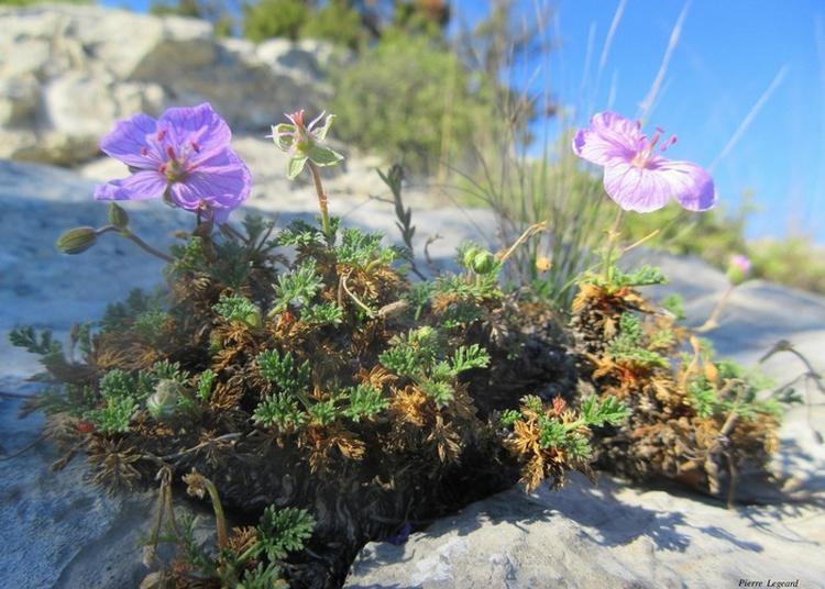 Visite Botanique Guidée Sur Le Thème Des Plantes Halophiles à Gruissan