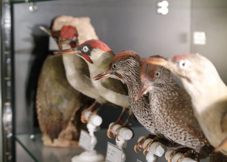 Visite Commentée Du Musée Ornithologique Charles Payraudeau à La Chaize le Vicomte