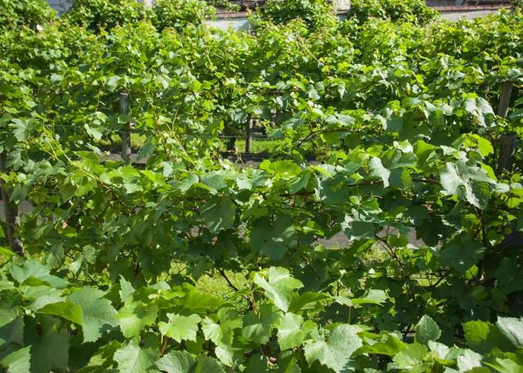 Visite Des Vignes Et De La Grange De Clamart