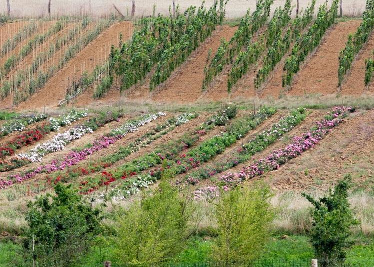 Visite Guidée Dans Les Parcelles De Productions D'arbres Fruitiers Et D'ornement à Lanfroicourt