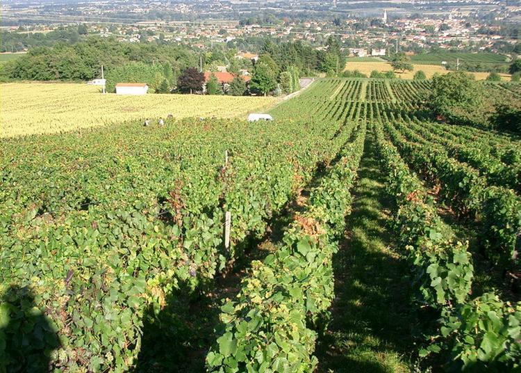 Vous Vivez Entourés De Vignobles,dans Le Beaujolais, Alors Venez Découvrir Son Histoire à Morance